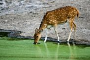 deer-and-water